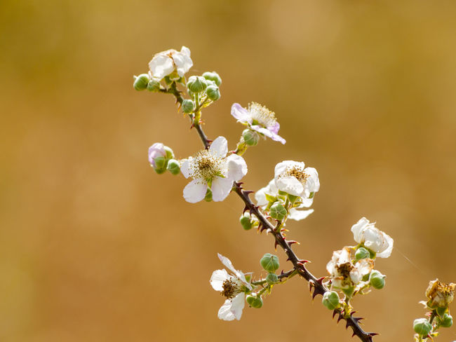 Copy Space Rubus Apple Blossom Beauty In Nature Blackberry Blooming Blossom Botany Branch Close-up Flower Flower Head Fragility Freshness Growth Nature No People Outdoors Petal Plant Rubus Ulmifolius Space For Copy Spring Springtime White Color