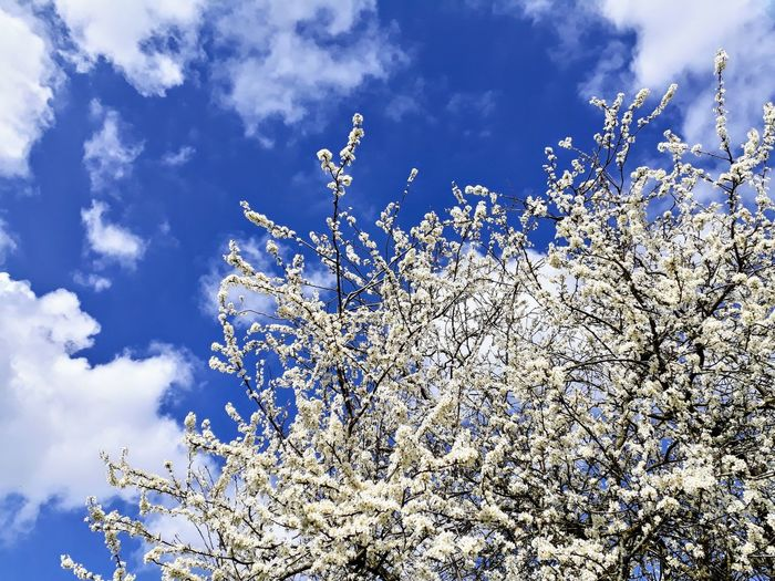Day Tree In Bloom Blooming Flower Flower Head Flowers Tree Trees Trees And Sky Nature Beauty In Nature White Nature_collection Check This Out Cold Freshness Rural Scene Inspired No People Springtime Spring Bud Pollen Air Flying Sky Cloud - Sky Sky Only Cumulus Cloud