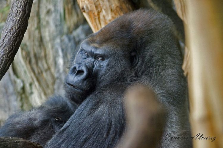 Awarness Gorillas Zoo Animals  Photo Taking Photos Hanging Out Check This Out That's Me Hello World Cheese! Relaxing