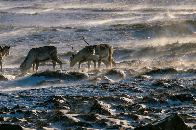 A herd of reindeers during a snowstorm close to Höfn, Iceland (Winter 2019) Snowstorm Snow Wintertime Cold Winter Höfn Wildlife Photography Wildlife & Nature Wildlife Antler Antlers Iceland Wildlife Reindeers Reindeer Confrontation Positive Emotion Outdoors Survival Strength Emotion Day Two Animals No People Nature Mammal Motion Water Group Of Animals Animals In The Wild Animal Wildlife Animal Themes Animal Herd Herd Of Reindeer
