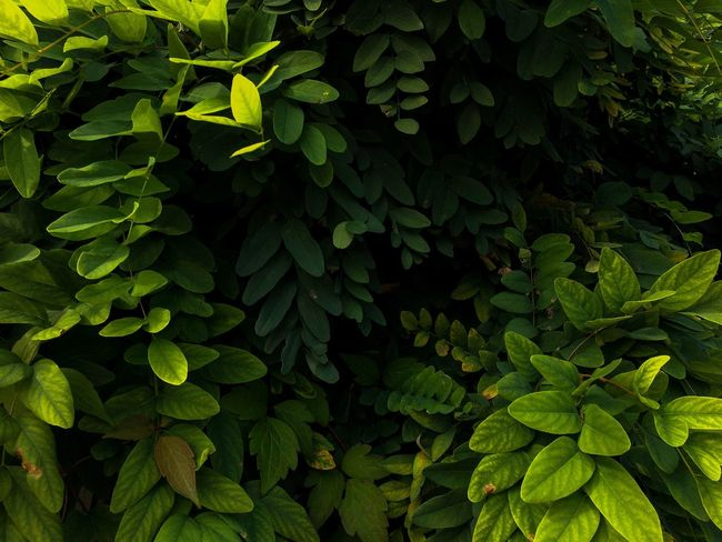 Green Color Plant Part Leaf Growth Plant Nature No People Beauty In Nature Backgrounds Freshness Herb Tree