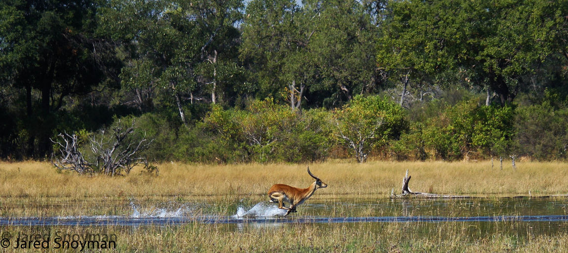Red Letchwe running through the Okavango Delta
