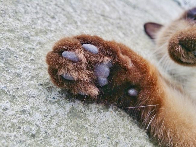 Cat's Paw Cats Cats Of EyeEm Cat Lovers Paw Cat's Paw Siamese Siamese Cat Details Commercial Textures One Animal Animal Themes Animals In The Wild Animal Wildlife Insect Animal Body Part No People Close-up Day Animal Leg Nature Outdoors Mammal Pets