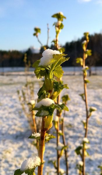 Black Currant Bush After Snow Storm Beauty In Nature Springtime Shades Of Winter