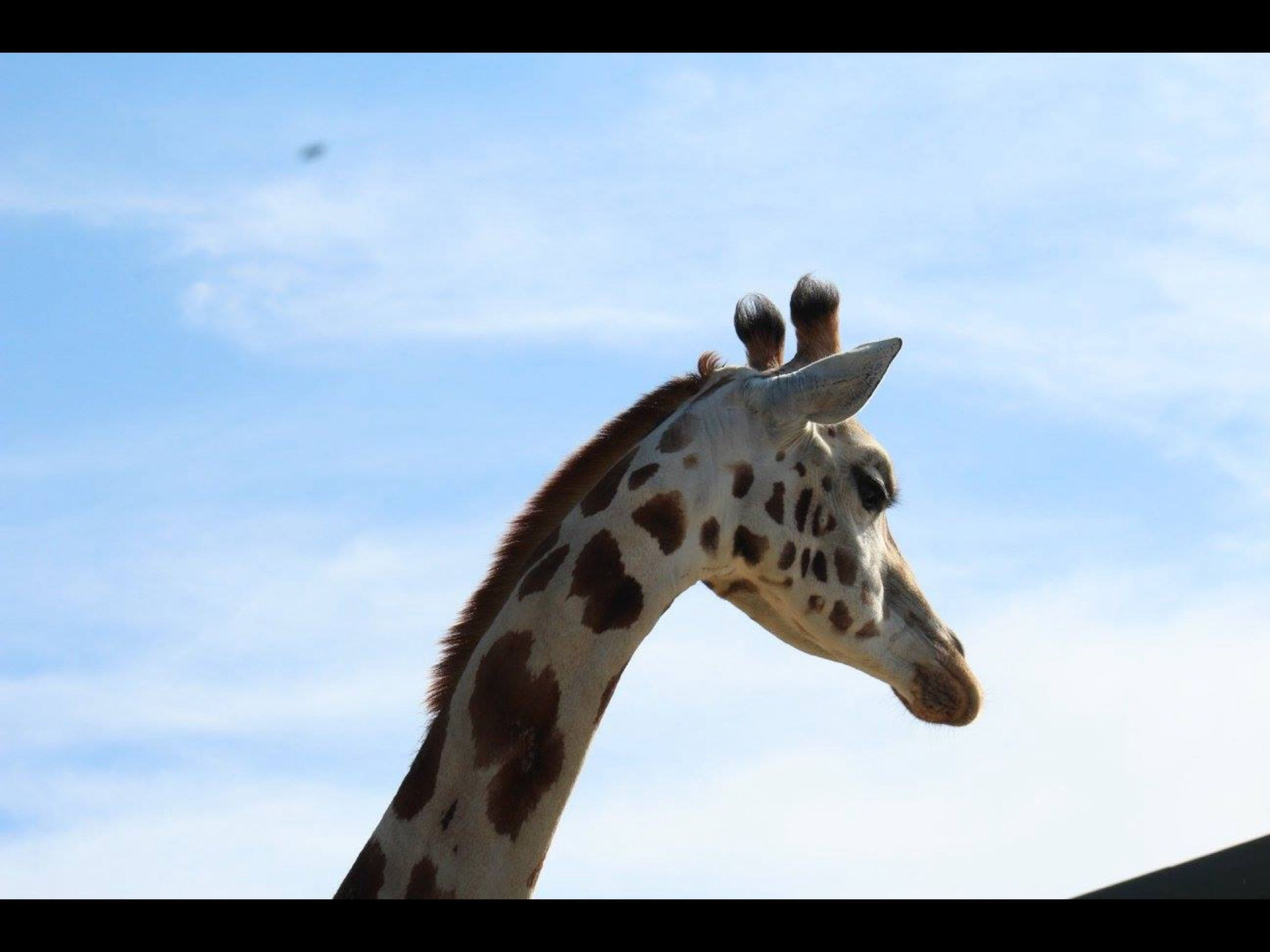 animal themes, animals in the wild, wildlife, one animal, low angle view, sky, spread wings, bird, transfer print, auto post production filter, blue, animal markings, nature, outdoors, animal wing, day, no people, perching, giraffe, zoology