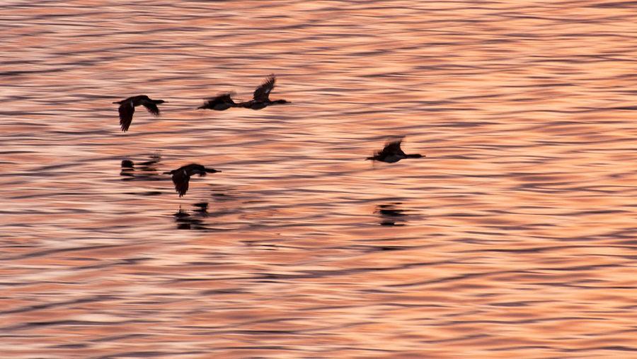 Antarctic Shag Animals In The Wild Bird Blue-eyed Cormorant Cormorants Flying Flying Birds Nature Over Sea Sunset Water First Eyeem Photo EyeEmNewHere