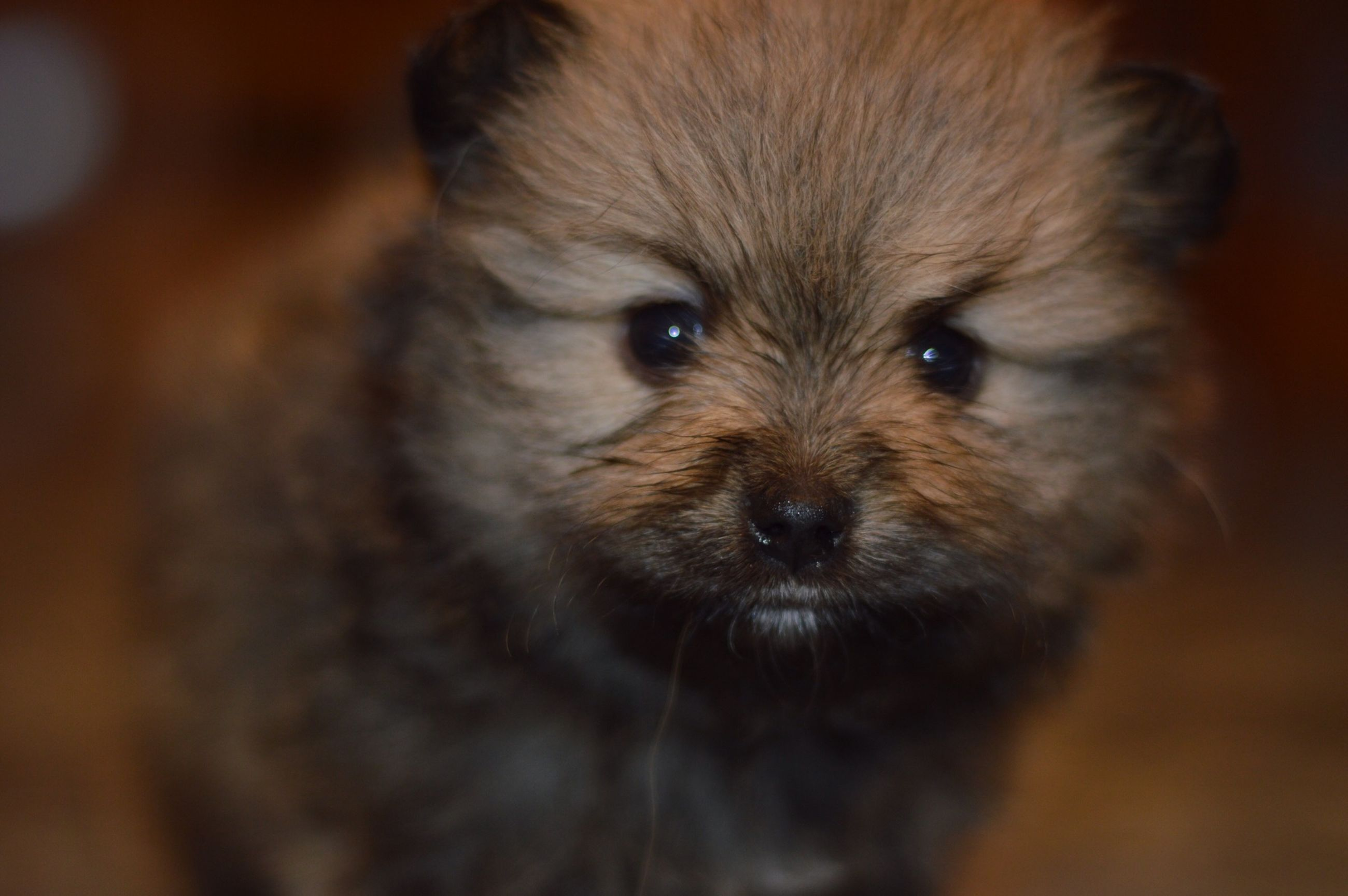 animal themes, one animal, mammal, pets, domestic animals, dog, portrait, close-up, looking at camera, animal head, selective focus, focus on foreground, animal hair, zoology, indoors, front view, young animal, animal body part, no people