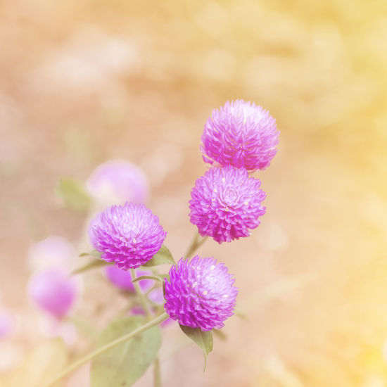 clover flower Flowering Plant Flower Beauty In Nature Vulnerability  Growth Close-up Nature Day Petal Selective Focus Blossom Clover Leaf Pratense Seasonal
