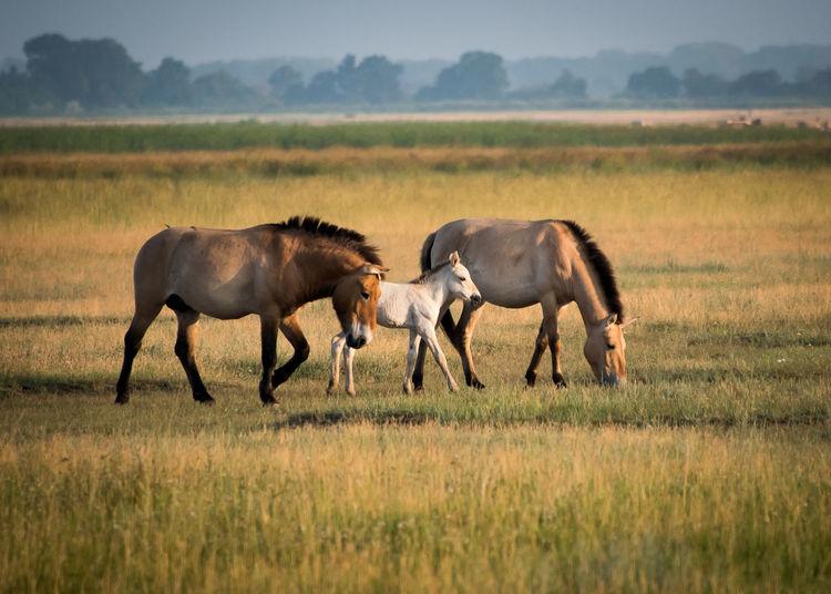 Wild horses in the Hungarian moorland Animal Equus Caballus Przewalskii Foal Horse Hortobagy Mammal Nature, Playing Przewalskii Hoirses Stallion Wildlife
