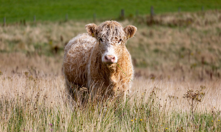 Portrait of cow on grass