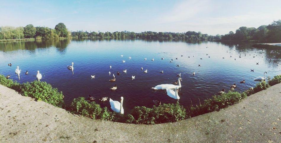 Ireland Northern Ireland Lake Swan Nature Pretty Gooutside Beautiful Outside Beactive Swans Nature EyeEmNewHere