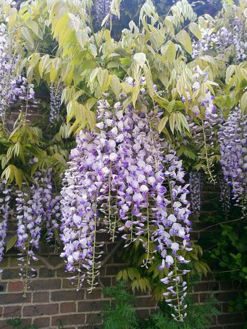 Wisteria Wisteria Flowers Wisteria Trellis Flower Flowers Garden Flowers Flowers On The Wall Garden Wall Growth Purple Purple Flower Hanging Outdoors Freshness Close-up Nature Beauty In Nature HuaweiP9 Plants And Garden Garden Garden Photography Spring Springtime Flowers,Plants & Garden Spring Flowers