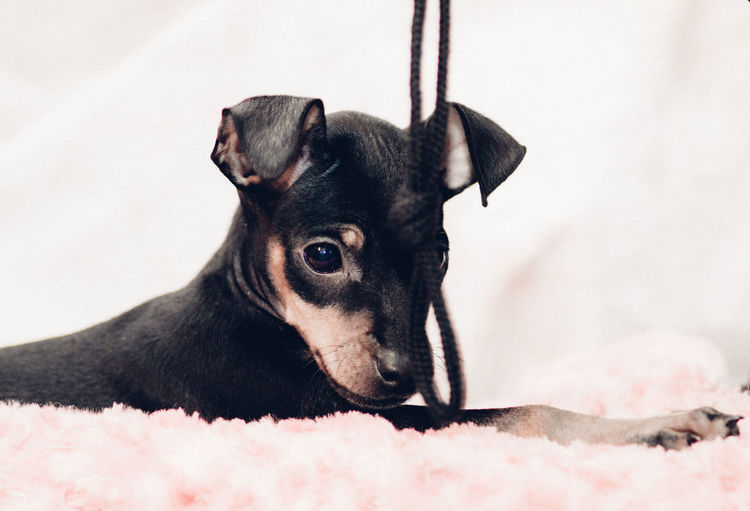 Close-Up Of Miniature Pinscher Puppy Sitting On Rug