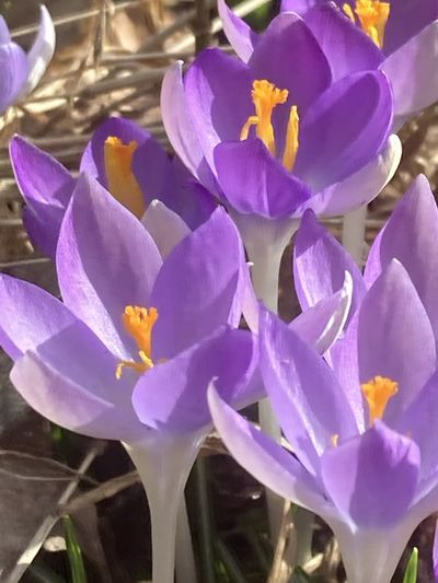 Close-up of purple crocus flowers