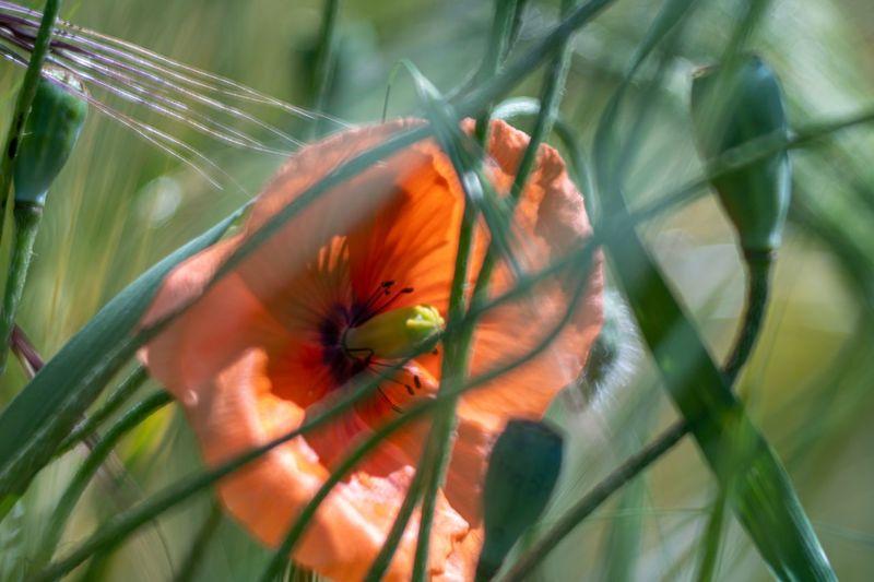 hiding poppy