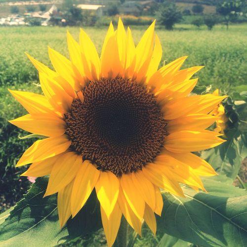 First Eyeem Photo Sunflower