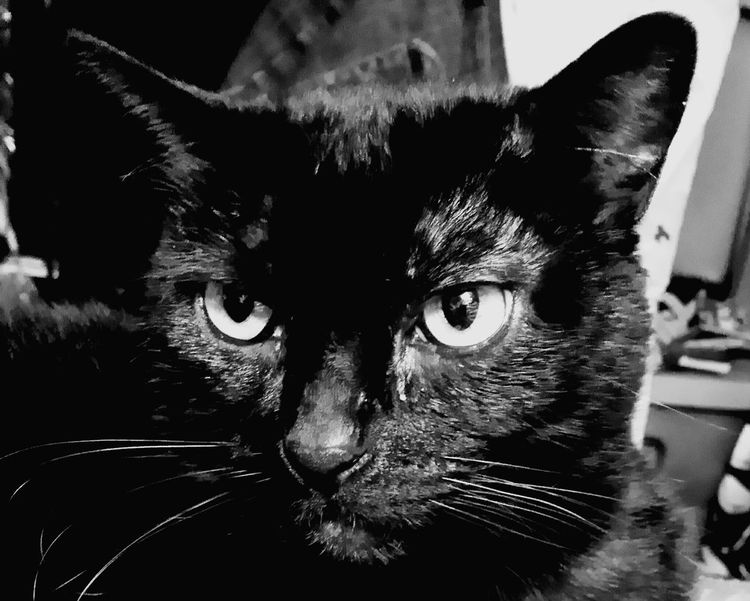 Freedom in black and white cropped straight from the camera Domestic Animals Animal Themes One Animal Pets Mammal Portrait Domestic Cat Close-up Feline No People Day Indoors  Looking At Camera Black Cat Collection Black Cat Photography Black And White Collection