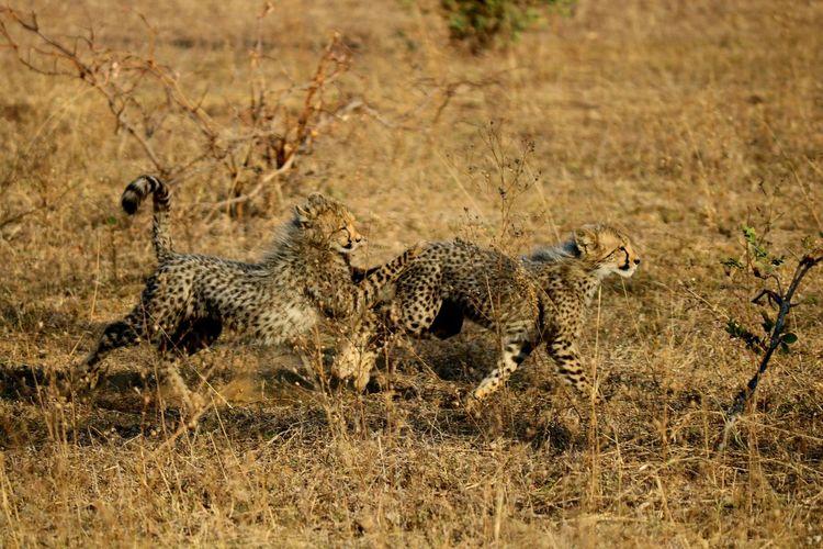 Eyem Best Shots EyeEm Selects Lucky Cheetah Cub Cub Hunting Playing South Africa Safari Best EyeEm Shot Pride Cheetah Safari Animals Camouflage Animals Hunting Grass Big Cat Cat Family Safari