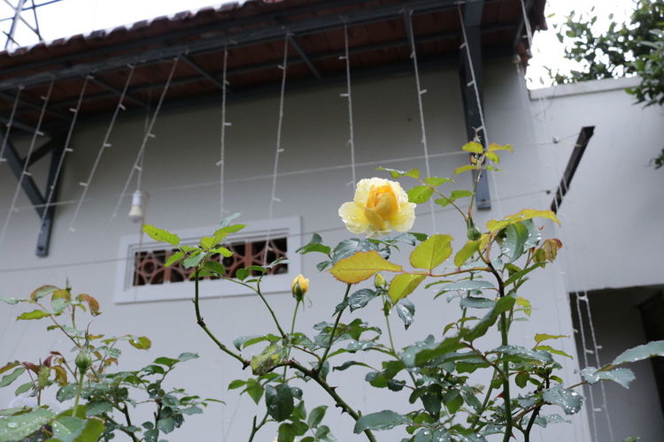 In spring Growth Plant Nature No People Outdoors Day Garden Rose - Flower Exterior Villa Hostel