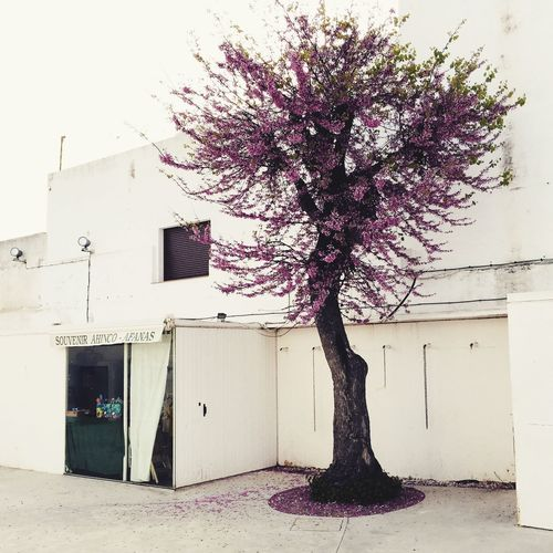 SPAIN Andalucía Andalusia Conil Conil De La Frontera White Urban Urbanphotography Streetphotography Holidays Holiday Spring Flowers Springtime Tree Blossom Blooming Cherry Blossoms Magic