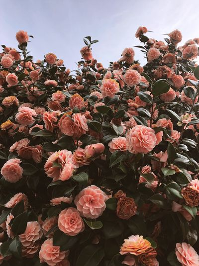 Beautiful pink flowers blooming on a large bush on a cloudy day Blooming Bloom Flowering Azalea Gardenia Rhododendron Plant Growth Flowering Plant Beauty In Nature Flower Freshness Sky Nature No People Flower Head Low Angle View Petal Botany Abundance Outdoors