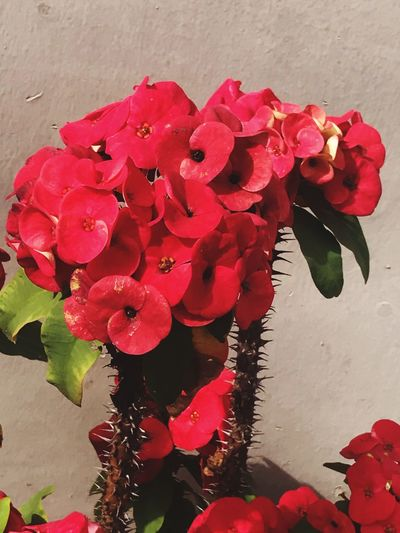 Flower Flowering Plant Red Vulnerability  Fragility Beauty In Nature Plant