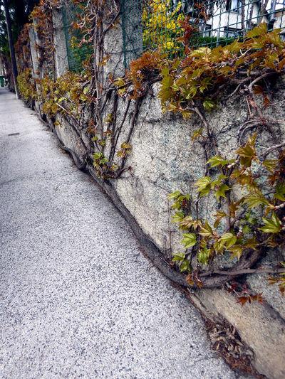 die Natur findet immer einen Weg..über 30 Jahre lang gewachsen🤩wilder Wein Maximum Growth Awesome Nature Lucky Me🦄 L❣O❣V❣E❣I❣T❣ H🌞A🌞P🌞P🌞Y🌞 Shine On❣❣❣ Wild Growth Vine Roots Of Life For My Friends 😍😘🎁 Memories ❤ In Vienna Grown Over 30 Years Nature Finds A Way Always Tree Sunlight Road Close-up