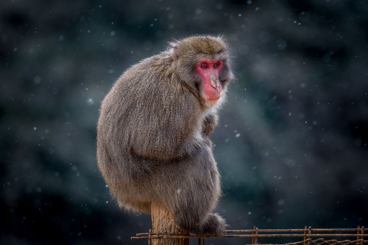 Japanese macaque in winter