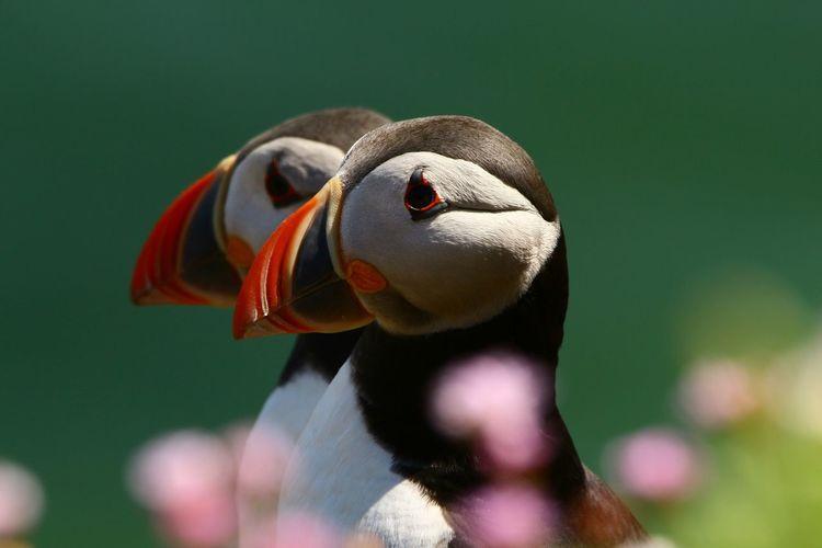 Close-up of atlantic puffins