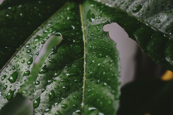 Drop Rain Wet Leaf Water Close-up Green Color Nature Rainy Season RainDrop No People Outdoors Growth Freshness Fragility Day Purity Beauty In Nature Dew Plant Part Leaves And Droplets Leaves🌿 Up Closewith Nature Drop Of Rain