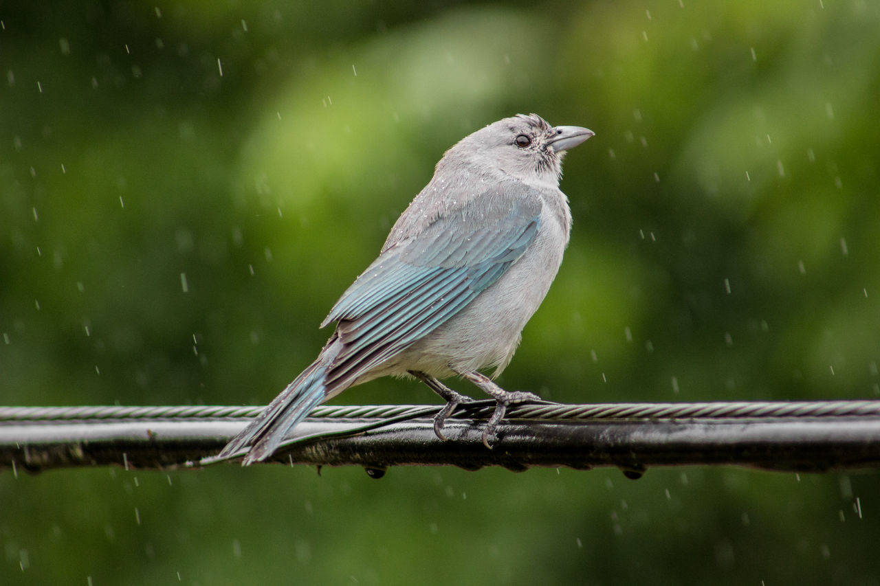 Close-Up Of Bird Perching On Wire During Rainy Season