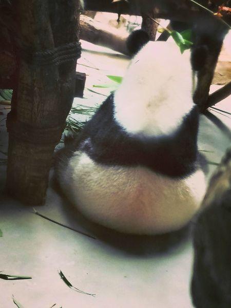 Panda - Animal PANDA ♡♡