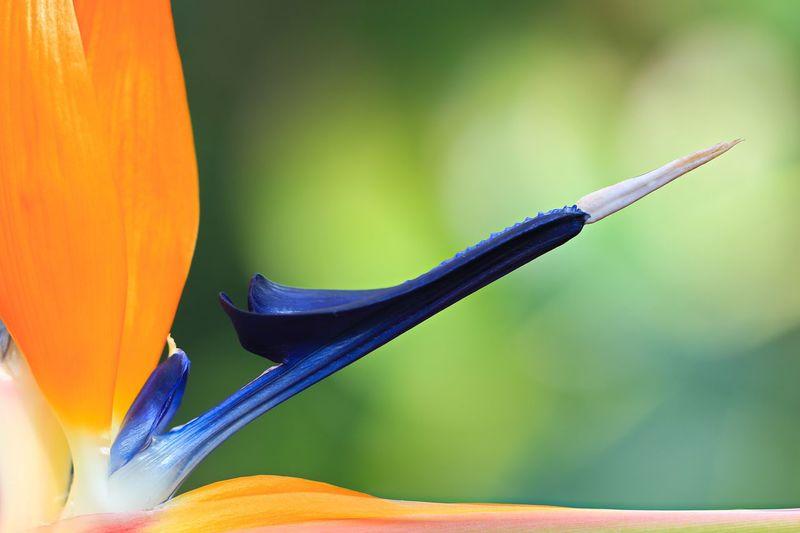 Strelitzia reginae Strelitzia Reginae Beauty In Nature Bird Of Paradise - Plant Close-up Day Detail Details Of Nature Flower Flower Head Flowering Plant Focus On Foreground Fragility Freshness Growth Inflorescence Nature No People Orange Color Petal Plant Selective Focus Vulnerability
