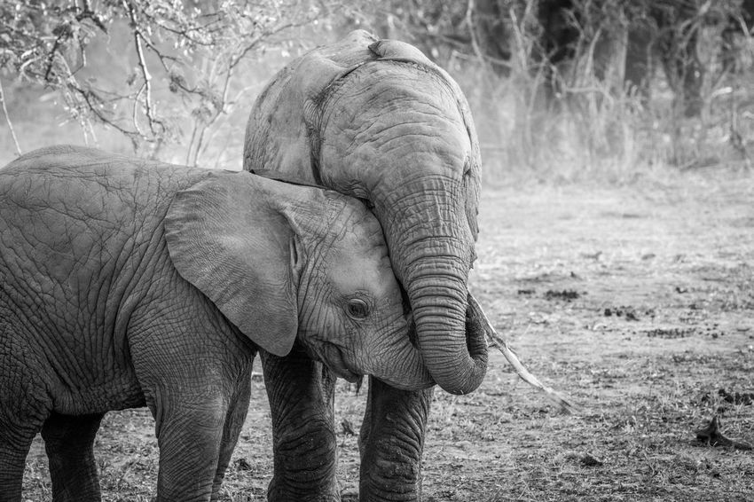 Young Elephants playing together in the Kruger National Park, South Africa. Animals In The Wild Beautiful Nature Endangered Species Nature Nature Photography Travel Wild Animal Wildlife & Nature Wildlife Photography Africa African Elephant Animal Animal Themes Animal Wildlife Beauty In Nature Big Five Elephant Elephant Calf Elephants Gentle Giant Mammal Safari Safari Animals Wildlife Wildlifephotography