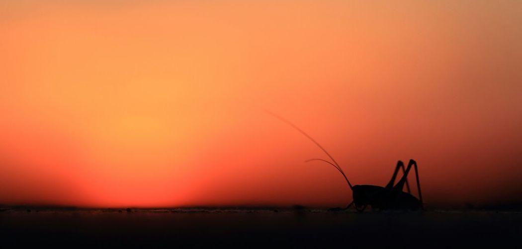 Close-up of silhouette grasshopper against orange sky