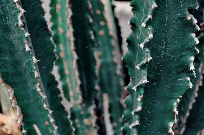 Backgrounds Full Frame Close-up Green Color Cactus Prickly Pear Cactus Barrel Cactus Needle - Plant Part Plant Life Succulent Plant Saguaro Cactus