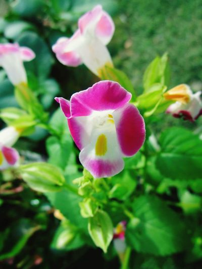 From my grandmother's little garden. Flower Nature Petal Plant Beauty In Nature Pink Color Growth Fragility Freshness Flower Head Orchid Close-up No People Outdoors Blooming Day