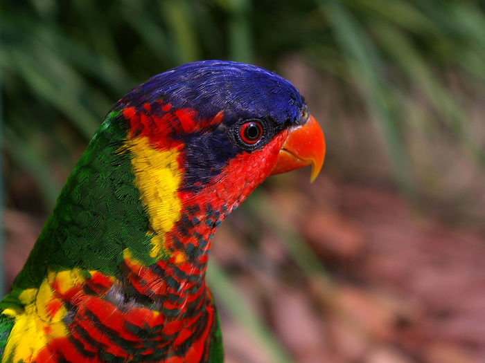Side view of rainbow lorikeet
