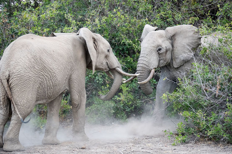 Elephants fighting by plants in forest