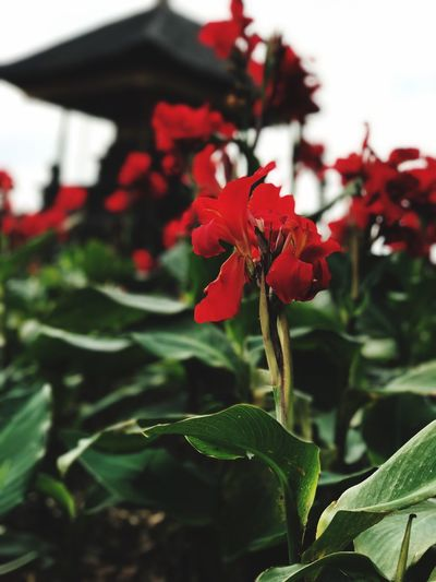 Growth Leaf Nature Plant Beauty In Nature Flower Fragility No People Red Outdoors Green Color Freshness Focus On Foreground Day Petal Close-up Blooming Flower Head Bali INDONESIA