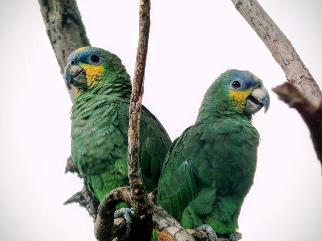 Beak Bird Bird Photography Birds Duet Green Parrots Side View