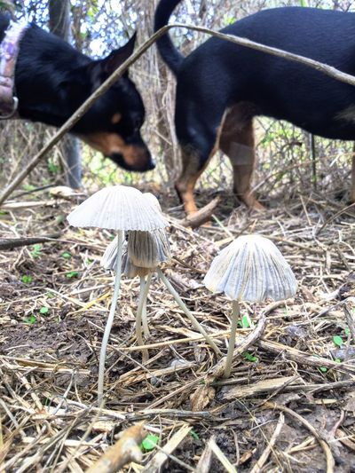 Mushrooms Countryside Natalia Plants And Flowers Domestic Animals Nature Outdoors Fungus Mushroom Mushroomphotography Dogphotography Country Living Country Life Mammal Pets Texasdogs Huntingdogs Ratter Ratterriermix Colorful Nature Ipadair2 Summer Texas Landscape Grownd View Inthedirt