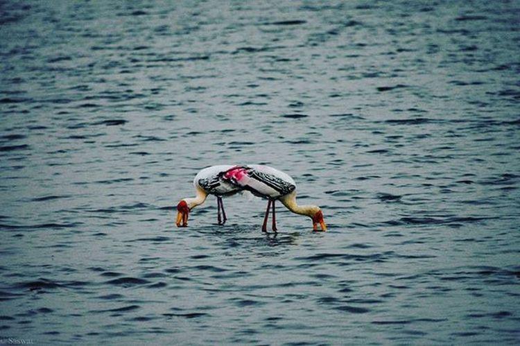 Nature Naturelovers Birds Birdphotography Ig_nature Ig_naturelovers Flamingoes Madivalalake Reflection Vscocam VSCO Symmetry Nikonindiaofficial Nikon Ig_captures Blue Ig_bangalore