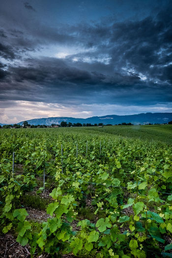 Cloud - Sky Growth Field Beauty In Nature Sky Land Landscape Plant Nature Tranquility Tranquil Scene Green Color Environment Rural Scene Scenics - Nature Agriculture No People Day Crop  Outdoors Plantation Winemaking