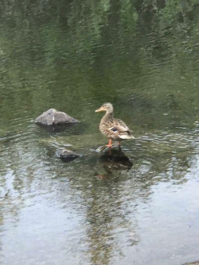 Duck enjoying