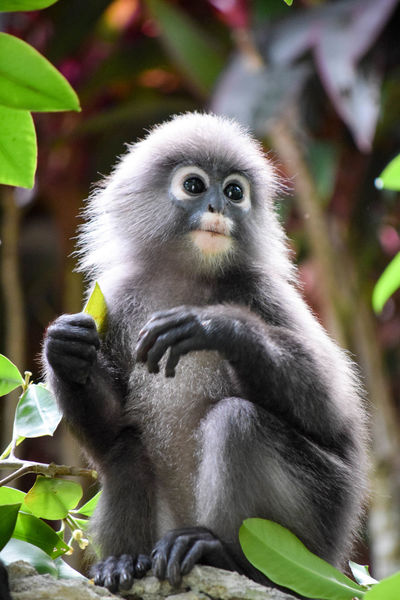 Animal Family Animal Hair Animal Themes Animals In The Wild Baby Monkey Beauty In Nature Branch Close-up Day Dusky Leaf Monkey Focus On Foreground Looking At Camera Mammal Monkey Monkeys One Animal Portrait Primate Wildlife Young Animal Zoology