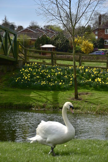 Animal Themes Animals In The Wild Beauty In Nature Bird Bridge Constablecountry Daffodils Day Green Color Lake Nature No People Outdoors River Spring Stour Swan Swans Tree Water