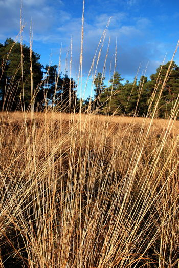 Dec 2017 Perthshire, Scotland Beauty In Nature Blue Sky And Fir Trees Close-up Day Exploring Grass Field Grass Great Sky Growth Nature No People Outdoors Pines And Blue Plant Scenics Sky Tranquil Scene Tranquility Tree