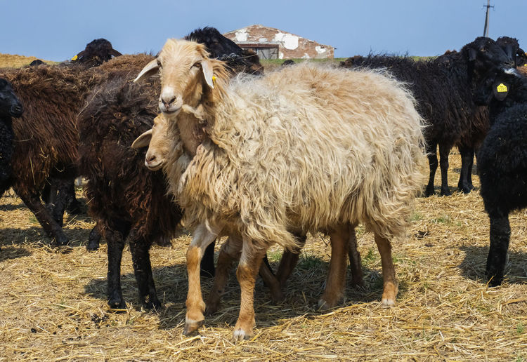 Sheep Livestock Mammal Domestic Animals Domestic Animal Themes Pets Animal Group Of Animals Field Land Vertebrate Nature Day Standing Animal Hair Sunlight No People Landscape Two Animals Outdoors Herbivorous
