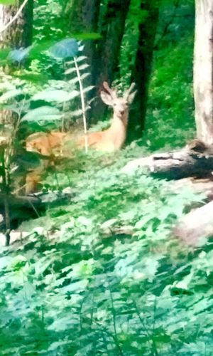 Summer A Walk In The Woods Forest Deer